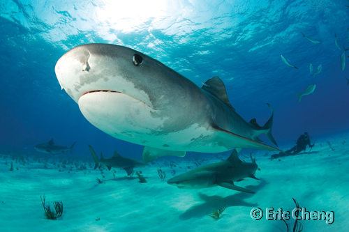 Man eats shark: With California on its way to banning ...