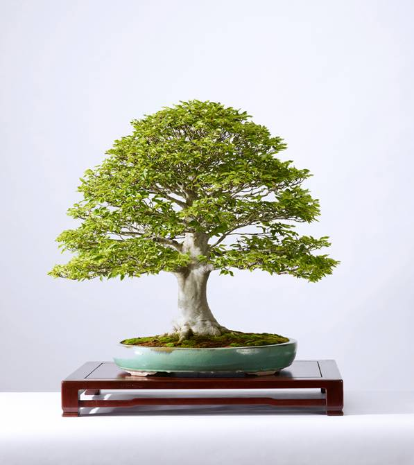 A&E BONSAI3