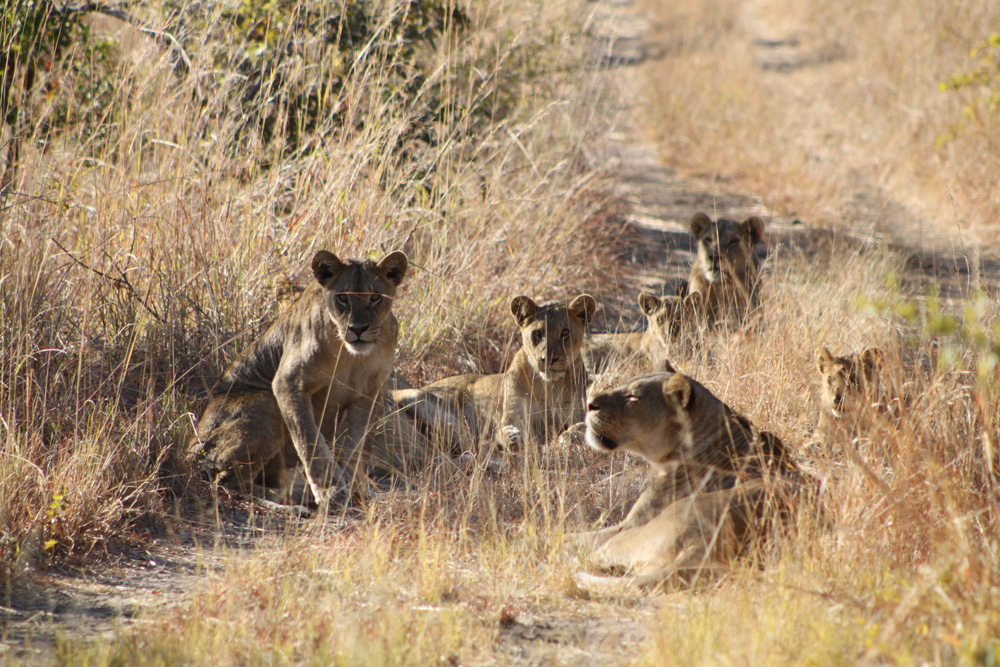 The lions were interested in us, but fortunately didn't approach the car. (Photo by Dr. A. Chauvet)