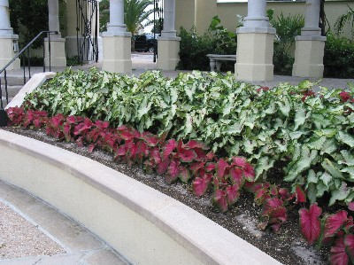 caladiums shade offer