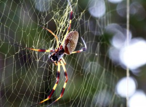 The elongated body of the Golden Orb Weaver.  Photo: Molly O'Connor