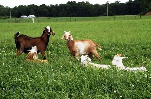 Image result for goat herd