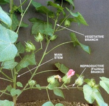 https://i0.wp.com/nwdistrict.ifas.ufl.edu/phag/files/2018/07/Mulvaney-Cotton-plant-diagram.jpg?resize=349%2C341