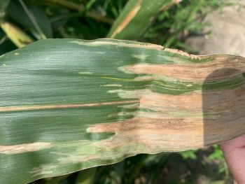 corn leaf with symptoms