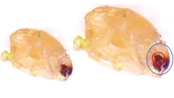 caterpillar mandibles