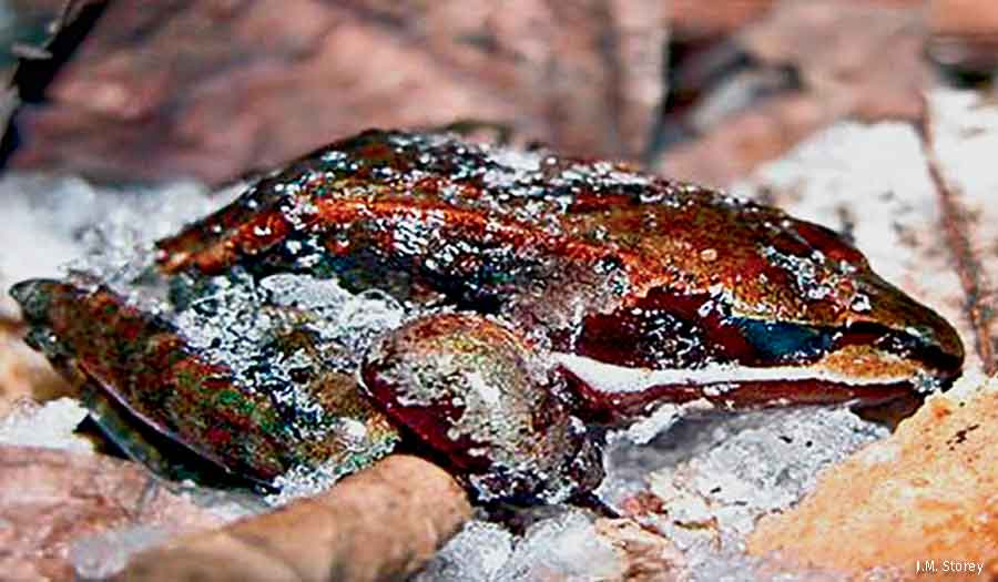 Frog Hibernation Winter