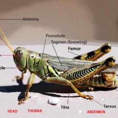 Grasshopper Insect Diagram Thermo King V300 Max Wiring Hopper Intro Nwi Assoc A Male Differential
