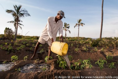 Tanzania: Mara River Basin, Samson Gesase's cooperative horticultural farming scheme, farmer irrigating plants with water carried bucket by bucket from Lake Victoria