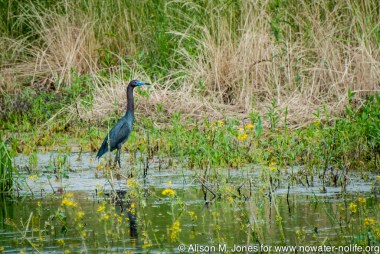 USA: Illinois, Mississippi River Basin, Cahokia Mounds State Historic Site, UNESCO World Heritage Site, Little blue heron (Egretta caerulea) in wetlands