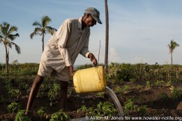 Tanzania: No Water No Life, Mara River Expedition, Musoma (on Lake Victoria), Samson Gesase's cooperative horticultural farming scheme, farmer irrigating tomato plants with water carried bucket by bucket from Lake Victoria