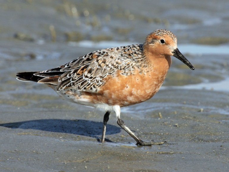 Red_Knot_2012c_RWD