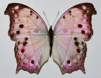 Mother-of-pearl_Butterfly_(Protogoniomorpha_parhassus)_(8368125628).jpg
