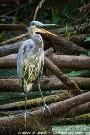 USA: Washington, Columbia River Basin Expedition'11, Olympia, Nisqually National Wildlife Refuge, estuary restoration