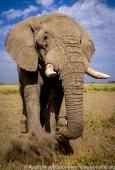 Kenya: Amboseli National Park, male elephant ('Loxodonta africana').