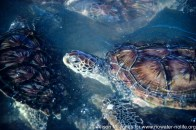 "Caribbean: Cayman Islands, Grand Cayman Island, turtle farm, green sea turtles (""Chelonia mydas"") swimming,"