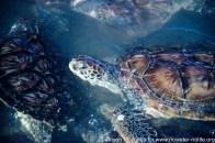 "Caribbean: Cayman Islands, Grand Cayman Island, turtle farm, green sea turtles (""Chelonia mydas"") swimming,"