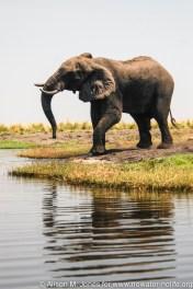 """Botswana: Chobe NP, elephant (""""Loxodonta africana"""") drinking from Chobe River"""