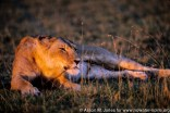 Kenya: Maasai Mara Game Reserve, female lion lying and peering through grasses at sunset