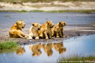 Tanzania: Seregenti National Park, Moru Kopjes, two female lions with four-month-old cubs near water hole
