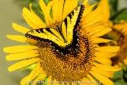 New Jersey: Upper Raritan Basin, Hunterdon County, Tewksbury Township, Mountainville, sunflower ('Helianthus annus') with tiger swallowtail butterfly ('Pterourus glaucus'),