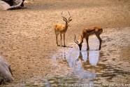 Tanzania: Ruaha National Park, Mwagusi Camp, two male impalas ('Aepyceros melampus') at water hole,