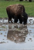 "USA: Wyoming, Mississippi River Basin, Yellowstone National Park, Lamar Valley, bison (""Bison bison"") drinking from vernal pool"