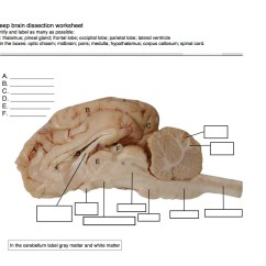 Sheep Brain Diagram Biology Corner Australian Xr650r Wiring Worksheet Dissection Fun
