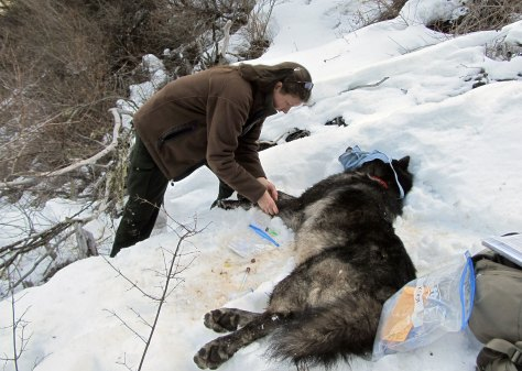 AN ODFW BIOLOGIST DRAWS BLOOD FROM A SNAKE RIVER PACK MALE LAST WINTER. (ODFW)