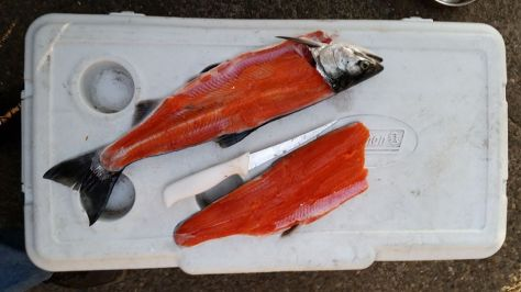 THERE DOESN'T APPEAR TO BE A LOT OF MEAT ON THE BONES OF THIS YEAR'S PUGET SOUND COHO RUN, NOR MUCH OF A RUN. (ANDY WALGAMOTT)