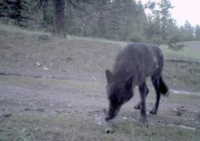 Washington Wolves, Ranchers, Ideas In The News