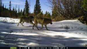 WDFW Launching Post-wolf Recovery Planning With 'Extensive' Scoping Meetings This Fall