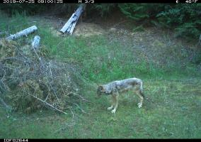IDFG Commissioners Extend Wolf Hunting, Trapping Seasons