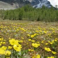 Alpine Buttercup aka Snow Buttercup (Ranniculus eschscholtzii)