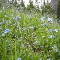 Stickseed aka Wild Forget-me-not (Hackelia floribunda)