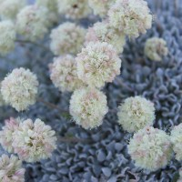 Cushion Buckwheat (Eriogonum ovalifolium)