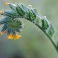 Small-flowered Fiddleneck (Amsinckia menziesii)