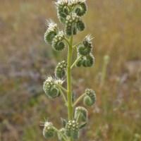 Silver-leaf Phacelia (Phacelia Hastata)