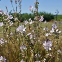 Meadow Checker Mallow (Sidalcea campestris)