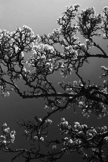 Blossoming Tree - fine art photograph.