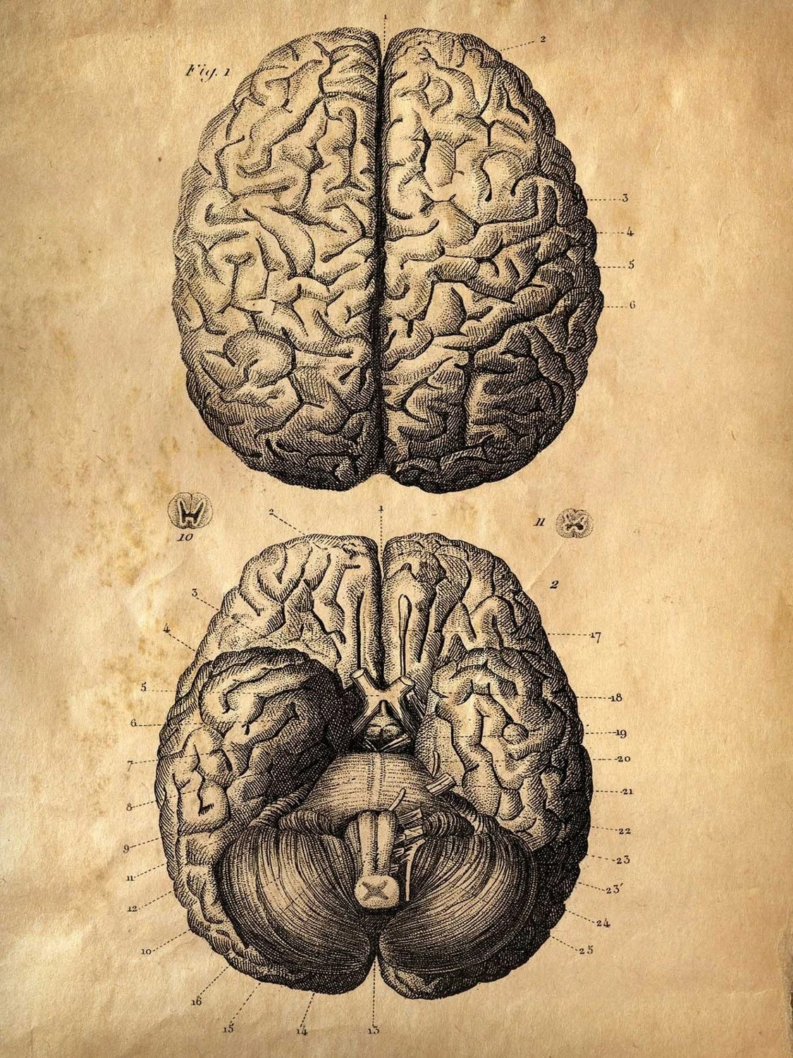 18x24   Vintage Anatomy. Brains poster. Human Body. Zombies. Horror. Science.
