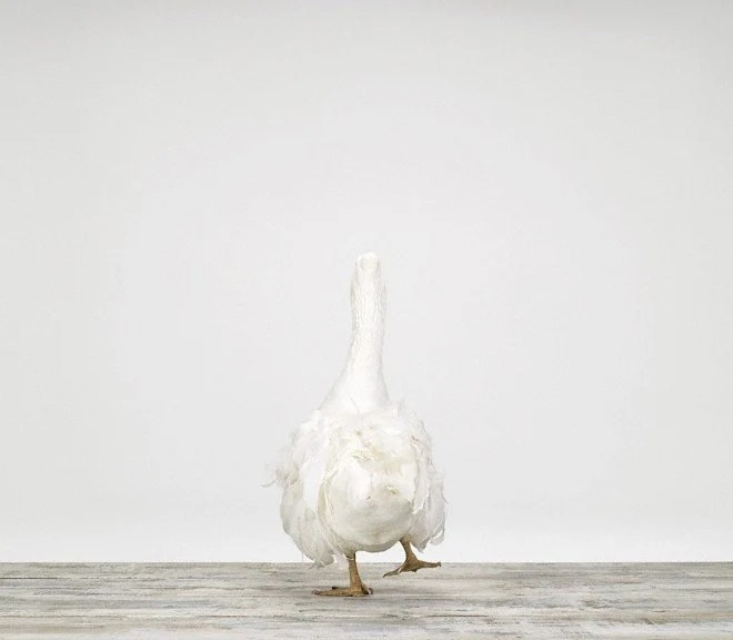 White Goose No. 4, 7 x 8 Fine Art Print