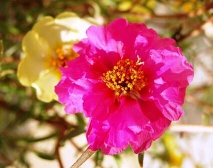 Moss Rose Seeds