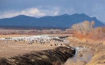 bda-cranes-and-snow-geese