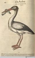 Stork from Gesner's Historia Animalium, Liber III.