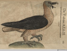 Vulture from Gesner's Historia Animalium, Liber III.