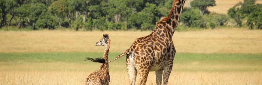 A picture of giraffes at Masaai Mara National Park, Kenya(Photo credit: Lisa/Nyamilepedia)