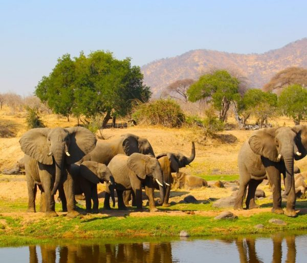 Group of elephant Ruaha