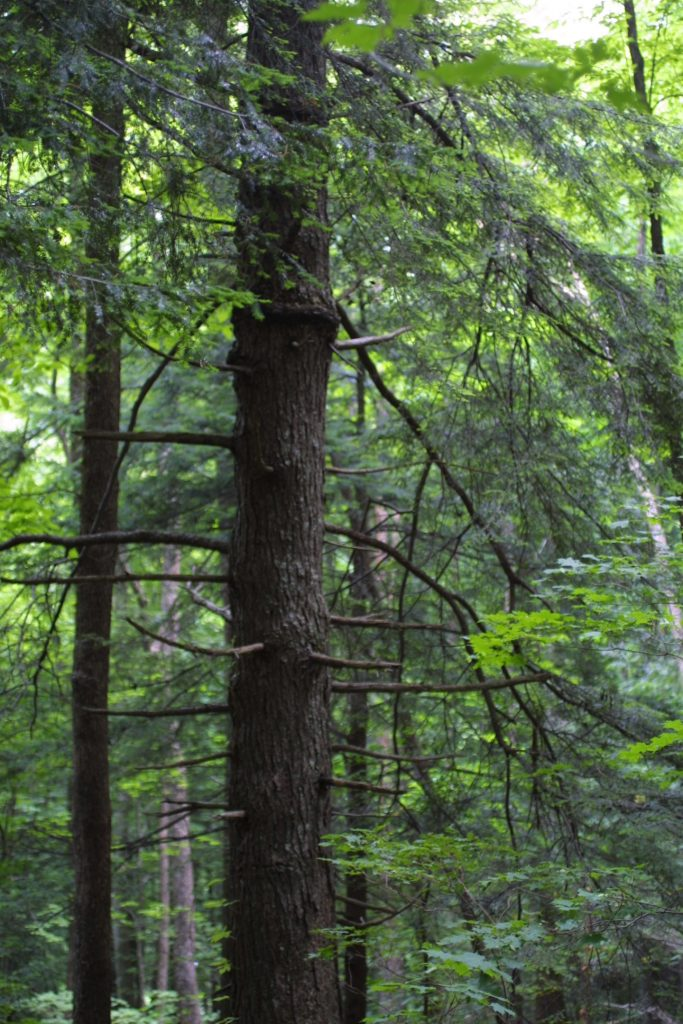 Canadian Hemlock Growth Rate 5
