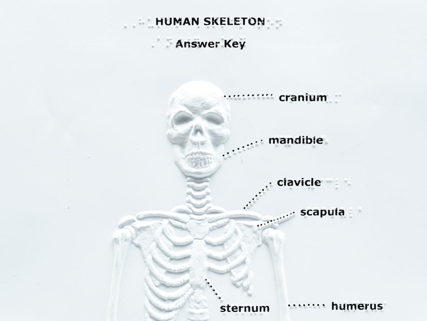 Touch, Label, and Learn Poster: Human Skeleton (Anterior