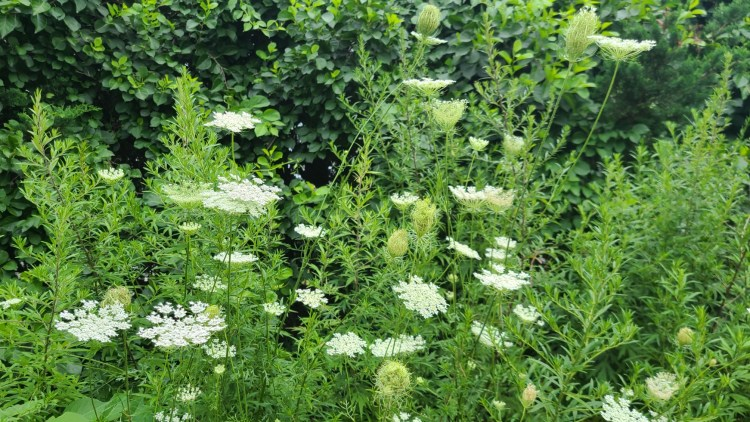 Queen Anne's Lace (Carrot Seed) with Mugwort